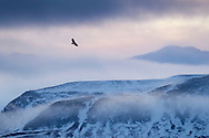 White-tailed eagle (Haliaeetus albicilla) in flight over mountain landscape at dusk, Iceland, January 2014