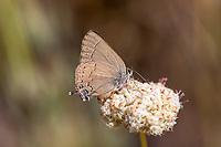 Satyrium s. saepium (Hedgerow Hairstreak) ♀ at Sherman Pass, Tulare Co, CA, USA, on California buckwheat 08-Jul-17