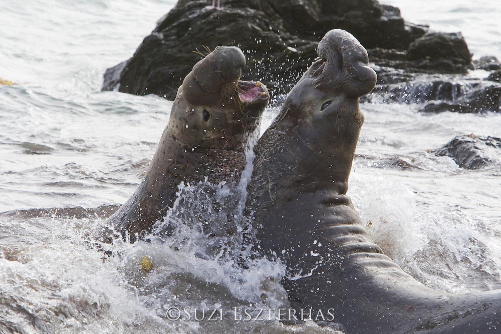 Northern Elephant Seal<br /> Mirounga angustirostris<br /> Bulls fighting<br /> Isla San Benito, Baja California, Mexico