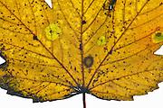 Nederland, 12-11-2012Prachtige gele tinten van een blad in de herfst.Foto: Flip Franssen/Hollandse Hoogte