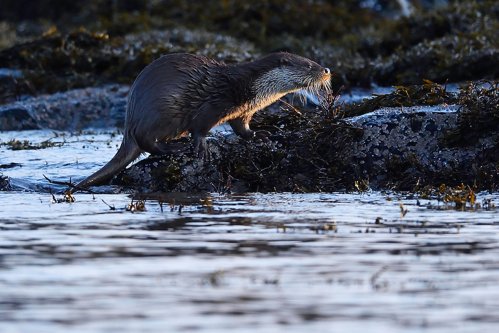European otter, Lutra lutra, eating a fish, Flatanger, Nord-Tröndelag, Norway