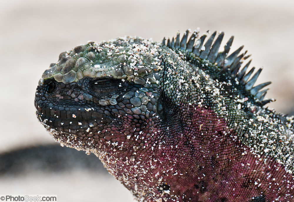 A Galapagos Marine Iguana (Amblyrhynchus cristatus) basks at Suaraz Point, a wet landing on Española (Hood) Island, Galápagos Islands, Ecuador, South America. The Marine Iguana is the world's only sea-going lizard and is found only on the Galapagos Islands. They feed almost exclusively on marine algae, expelling excess salt from nasal glands while basking in the sun. Most adults are black, some grey, and the young have a lighter colored dorsal stripe. The somber tones allow the species to rapidly absorb the warm rays of the sun to minimize the period of lethargy after emerging from the frigid water, which is cooled by the Humboldt Current. Breeding-season adult males on the southern islands are the most colorful and will acquire reddish and teal-green colors, while Santa Cruz males are brick red and black, and Fernandina males are brick red and dull greenish. The iguanas living on the islands of Fernandina and Isabela (named for the famous rulers of Spain) are the largest found anywhere in the Galápagos. The smallest iguanas are found on Genovesa Island.