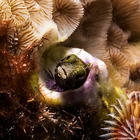 Macro photograph of a blenny living in a piece of brain coral.
