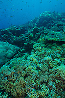Healthy coral reef, Sangalaki, Kalimantan, Indonesia.