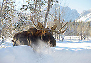 "A bull moose wades through deep snow in Moose recently near the entrance to Grand Teton National Park. The large animal, with the scientific name Alces alces, is called an ""elk"" in British English."