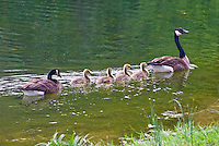 Family of Geese swimming along in the pond.