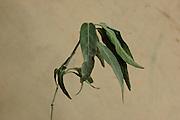 Medicinal plant sample 6