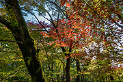 """Fall foliage colors at Eikando (formally known as Zenrinji Temple), in Kyoto, Japan. Eikando belongs to the Jodo sect of Japanese Buddhism. It is found just north of the large temple complex of Nanzenji. A court noble of the Heian Period (710-1185) donated his villa to a priest, who converted it into a temple named Zenrinji (""""temple in a calm grove""""). At its founding, Zenrinji was part of the Shingon sect. In the 11th century, Zenrinji had a popular head priest named Eikan, after whom the temple is popularly named Eikando (""""Eikan Hall"""")."""