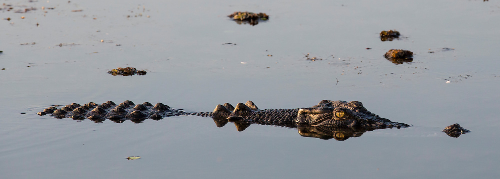 Saltwater crocodile, Yellow Water billabong, Kakadu National Park and World Heritage site, Northern Territory, Australia