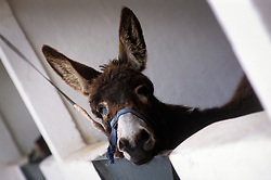Mule recuperating after treatment at the SPANA animal refuge in Marrakech, Morocco