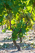 Bunches of grapes on grape vine in Sauternes,France on the estate of Chateau de Malle