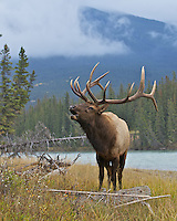 Bull elk bugling on river bank