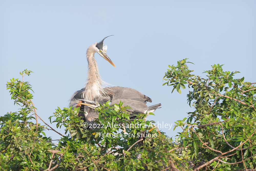 Great blue heron parent with nestling safely tucked under its wing, in treetop nest at Venice Audubon Rookery on Florida's Gulf coast. A pair of anhinga are also visible in a separate nest just below the herons.
