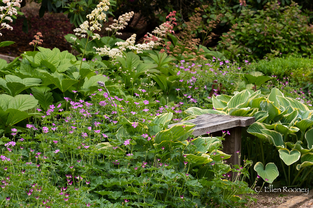 A wooden bench surrounded by Hosta and hardy geraniums at Norney Wood, Shackleford, Surrey, UK