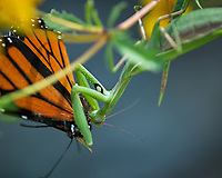 Praying Mantis vs. Monarch Butterfly. Image taken with a Nikon D200 camera and 200 mm f/4 macro lens.