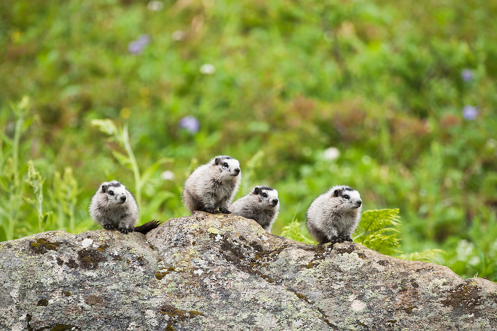 Hoary Marmot (Marmota caligota) pups on a boulder with field of wildflowers in background keeping watch for danger at Hatcher Pass in Southcentral Alaska. Summer. Afternoon.