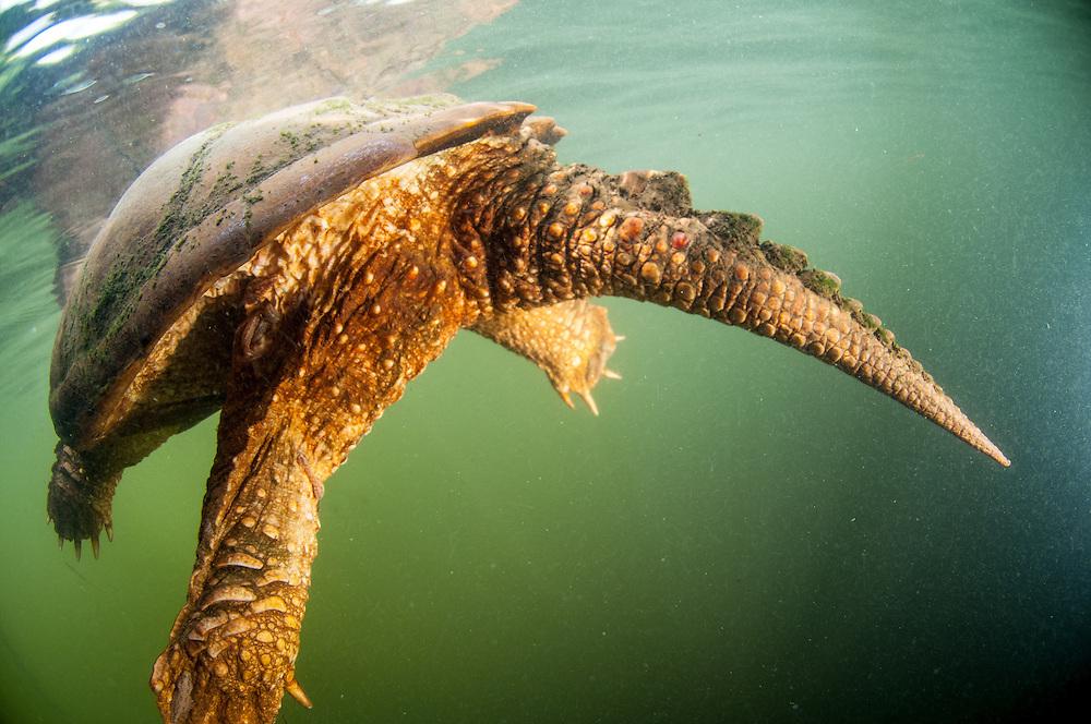 Chélydre serpentine, communément nommée tortue serpentine à proximité de la surface. | Common Snapping Turtle near the surface.