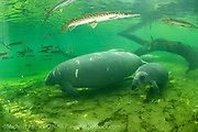 A female Manatee and her calf, Trichechus manatus, swim in the clear waters of Blue Springs State Park and are surrounded by a school of Florida Gar,  Lepisosteus platyrhincus,.