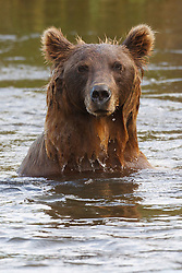 North American brown bear / coastal grizzly bear (Ursus arctos horribilis) sow fishes in a creek, Lake Clark National Park, Alaska, United States of America