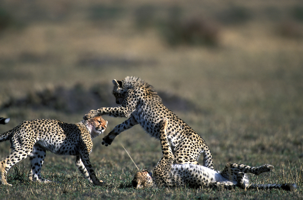 Africa, Kenya, Masai Mara Game Reserve, Cheetah cubs (Acinonyx jubatas) play in play and wrestle in short grass on savanna