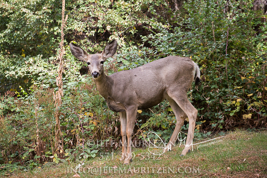 Portrait of a female Mule deer near a forested area.