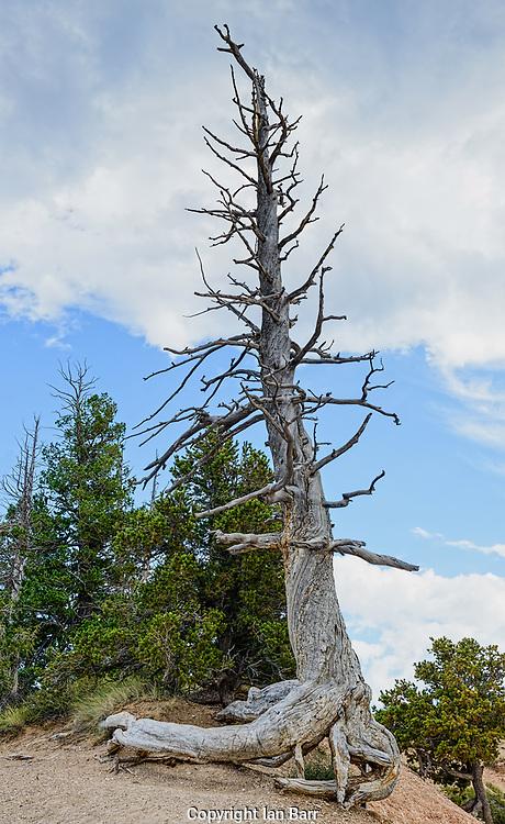 Dead Tree,Bryce Canyon National Park,Utah.