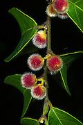 Rain forest seed pods<br /> Odzala - Kokoua National Park<br /> Republic of Congo (Congo - Brazzaville)<br /> AFRICA