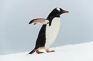 Gentoo penguin walking, Pygoscelis papua, Cuverville Island, Antarctica