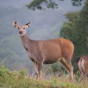 Female Rusa unicolor, Sambar Deer in Phu Khieo Wildlife Sanctuary, Thailand.