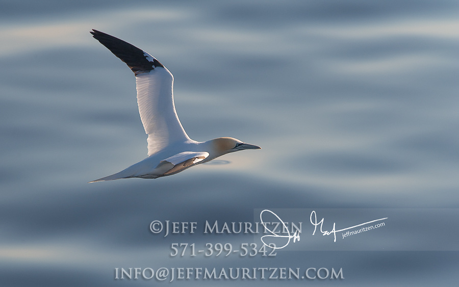 A Northern gannet in flight, low over the Atlantic Ocean.