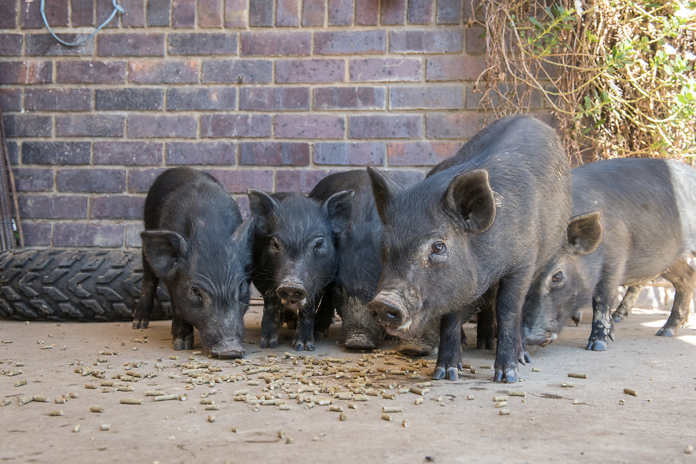 Group of pigs gather together and eat up pellets of food off the ground, Cape Town, South Africa