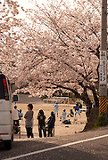 Elementary school teams playing baseball near blooming cherry blossoms (sakura) in the spring.