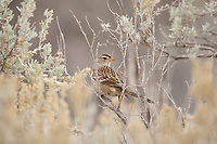 An Immature White Crowned Sparrow takes refuge in the branches of sagebrush Sparrows are ground feeding birds and spend a lot of time in low branches close to the ground.
