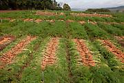 Carandai_MG, Brasil.<br /> <br /> Plantacao de cenouras em Carandai, Minas Gerais.<br /> <br /> Carrots plantation in Carandai, Minas Gerais.<br /> <br /> Foto: LEO DRUMOND / NITRO