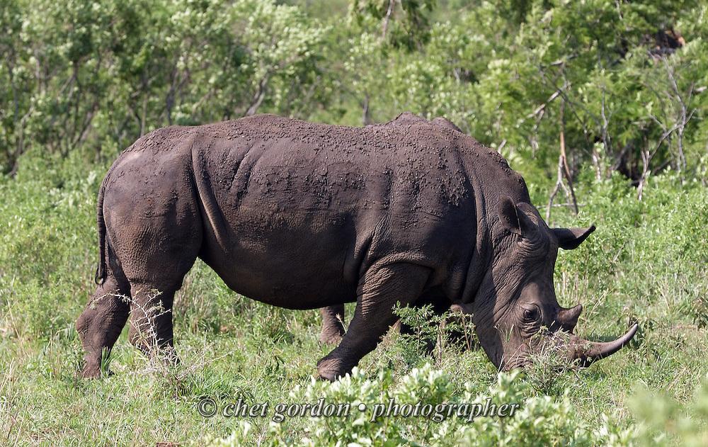 KWAZULU NATAL, SOUTH AFRICA.  White Rhino at the Hluhluwe Umfolozi Game Reserve in KwaZulu Natal, South Africa on Friday, September 15, 2006. Established in 1895, Hluhluwe Umfolozi is South Africa's oldest game park.    © www.chetgordon.com