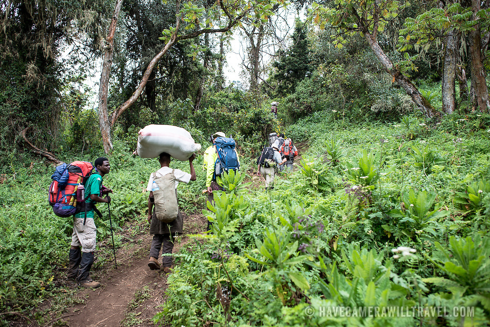 Hikers on the forest trail on the Lemosho Route climbing Mt Kilimanjaro, Africa's tallest mountain. At lower elevations, the mountain base is covered with thick forest.