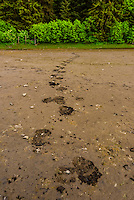 Large bear tracks in mud  at Pack Creek Brown Bear Sanctuary, Admiralty Island.,  near Juneau, Alaska USA. Admiralty Island is home to the highest density of brown bears in North America.