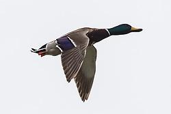 Mallard (Anas platyrhynchos) flying, Baylands Nature Preserve, Palo Alto, California, United States of America
