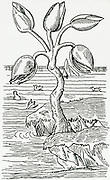'Barnacle geese (Branta leucopsis) hatching out of 'eggs' on a tree. Because they breed in the Arctic their nests were never seen, so legends arose.  Woodcut from and edition of Gerard's ''Herbal'''