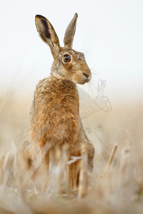 European Hare (Lepus europaeus) adult, sitting upright in stubble field, South Norfolk, UK. August.
