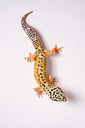 A leopard gecko (Eublepharis macularius).
