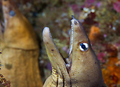Gymnothorax nubilus (Grey moray)