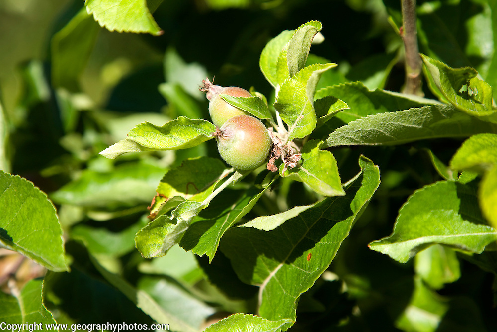 Small apple fruit forming on tree