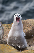 A Black-browed albatross chick opens its mouth.