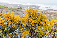 Lichens growing on the coastline and gaining nutrients from sea fog, Namaqua National Park, Northern Cape, South Africa,