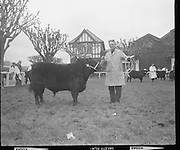 "R.D.S. Bull Show..1971..16.02.1971..02.16.1971..16th February 1971..The Royal Dublin Society (RDS) Bull Show got under way in Dublin today with the judging of Hereford, Friesian and Aberdeen Angus bulls. As well as the judging of bulls there was also a competition for Irish large White and Landrace pigs..Picture shows Mr James W Frost, Enniskeane,Co Cork with his Aberdeen Angus bull ""Variety of Murragh"" which was placed second in its class."
