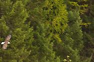 Bald Eagle (haliaeetus leucocephalus) soars through forest, Glacier National Park, Montana