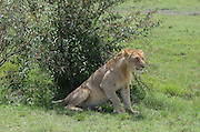 Kenya, Masai Mara, Young lion rests in the shade