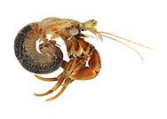 common hermit crab<br /> Eupagurus bernhardus