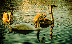 Adult swan and cygnets feeding in a pond<br /> <br /> (c) Andrew Wilson | Edinburgh Elite media